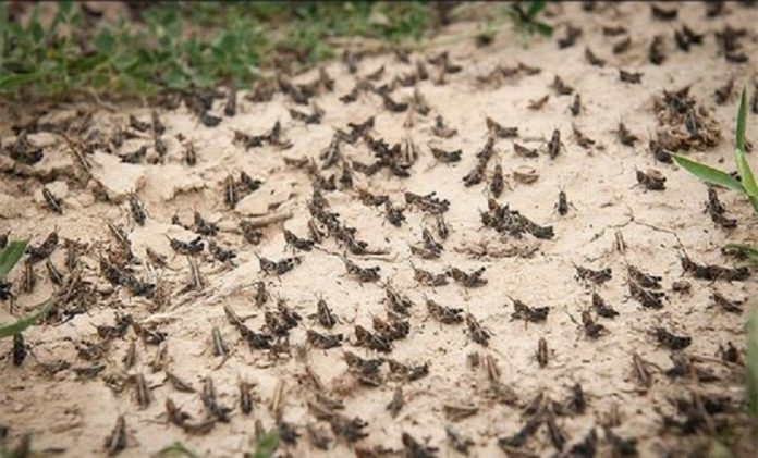 A locust outbreak in the Arabian peninsula has been spreading to Iran, threatening crops and food security in large areas of the coastal provinces and the south of Iran